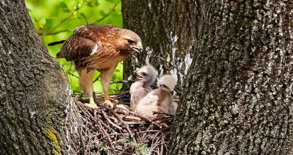 aigle venant nourrir ses bébés dans le nid perché en haut d'une arbre