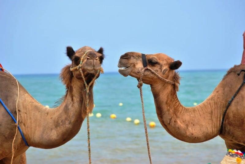 Deux chameaux en face à face qui sont tenus par une corde devant la mer
