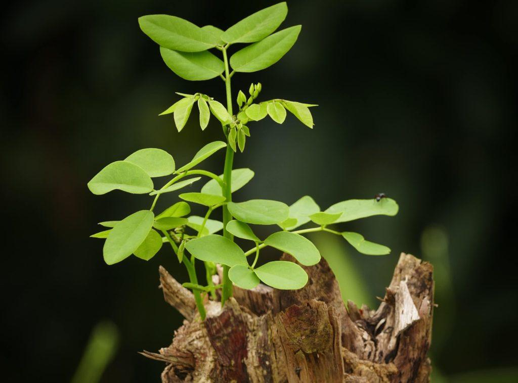 Photo d'une branche d'arbre et ses feuilles vertes repoussant sur la partie coupé