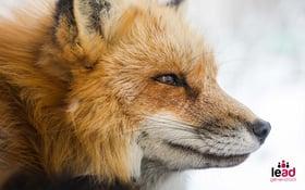 Photo d'un renard pour illustrer la prospection sur linkedin
