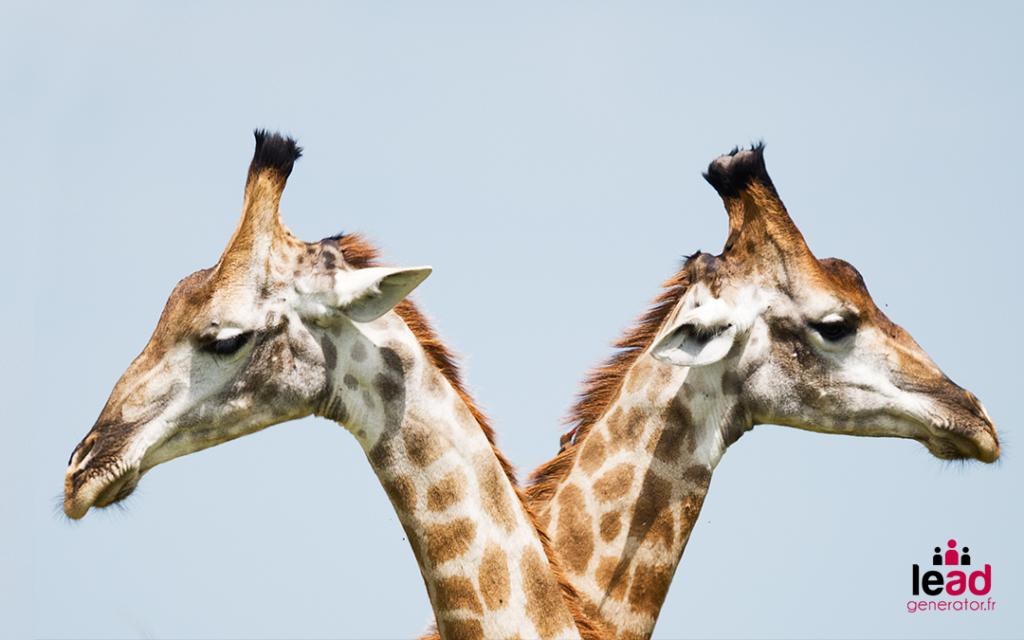 Photo de 2 têtes de girafes pour illustrer la différence entre lead generator et les autres agence de génération de leads